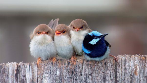 Cute-Little-Birds-1920-x-1080-HDTV-1080p-602x339